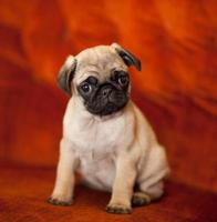 Cute Pug Puppy photo