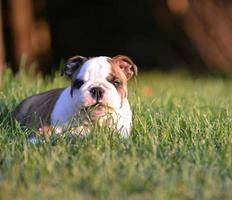 cachorro comendo grama