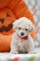 Apricot maltipoo puppy photo