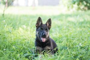 German shepard puppy photo
