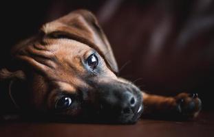 Dachshund Puppy Resting