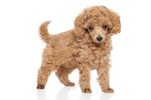 Toy Poodle puppy photo