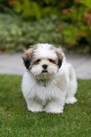 cachorro lhasa apso foto