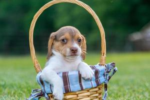 Baby beagle shows' it's cuteness in a basket photo