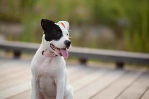 Smiling black and white pit bull puppy
