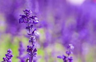 flores frescas de salvia violeta