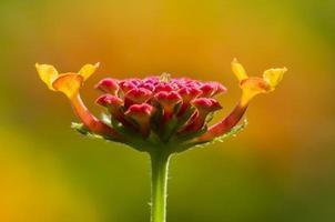 Detail of red Lantana flower buds