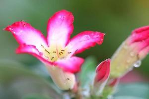 Adenium flower photo