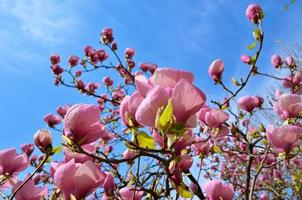 Flowering tree of magnolia photo