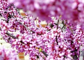 Branch with rich pink blossom. photo