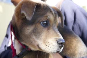 filhote de cachorro pitbull