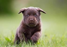 cachorro labrador retriever foto
