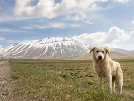 Puppy shepherd dog photo