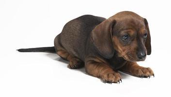 brown puppy dachshund