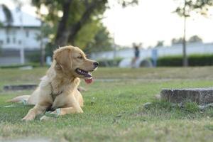 Golden retriever puppy photo