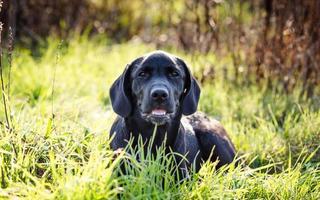 Labrador retriever puppy photo