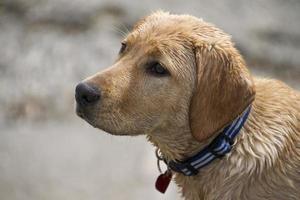 Dog Puppy Listen