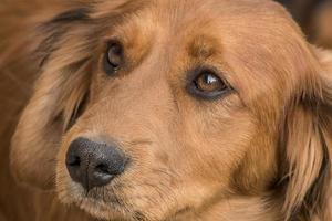 Portrait of a Daschund mix puppy photo