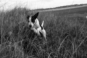 Black and white puppy jumps in the countryside photo