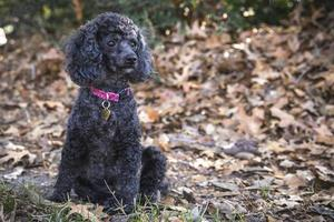 Toy Poodle In The Park photo