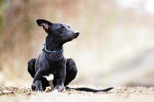 beautiful portrait whippet dog puppy resting