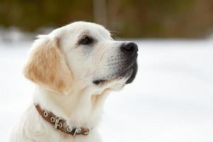 Labrador retriever puppy dog photo
