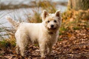 Lindo perro maltés frente a un lago foto