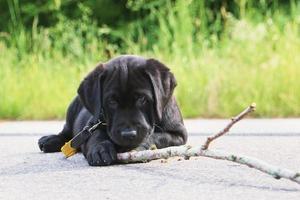 cachorro jugando con palo foto