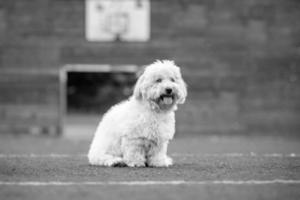 Coton de Tulear black and white dog photo