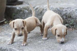 two yellow puppy outdoors