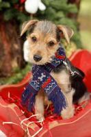 Cute puppy in scarf