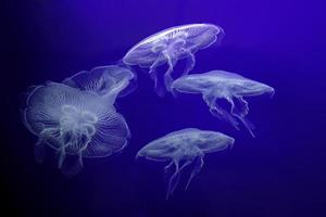 Group of light Jellyfish