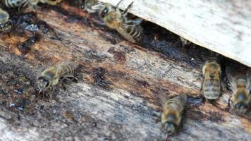 Gruppe von Honigbienen fliegen