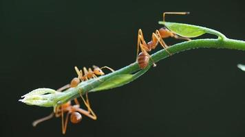 Macro close up, red weaver ant working on green tree leaves.