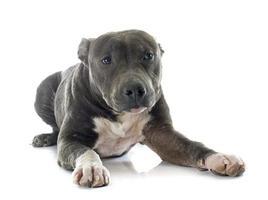 cachorro american staffordshire terrier