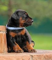 Dobermann puppy having rest