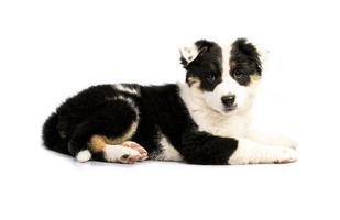 Cute Texas Heeler Puppy photo