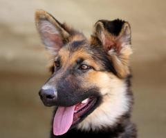 hermoso cachorro pastor foto