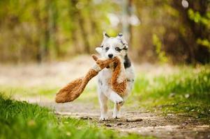 Pretty puppy border collie