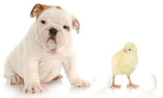 puppy and baby chick