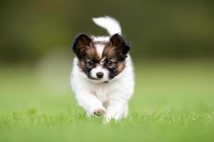 Young papillon dog puppy photo