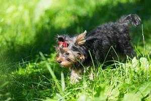 Puppy Yorkshire Terrier walking