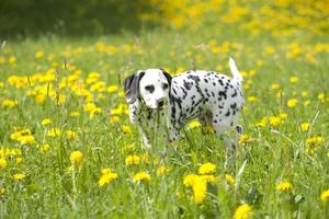 Dalmatian puppy in the meadow with flowers photo