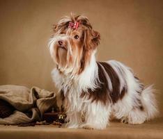 biewer yorkshire terrier puppy on brown background photo