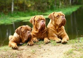 Three dogs against the river. photo