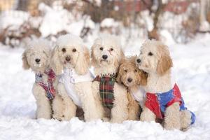 group of five dogs sit in snow photo