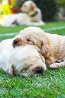 sleeping labrador puppies on green grass - three weeks old. photo