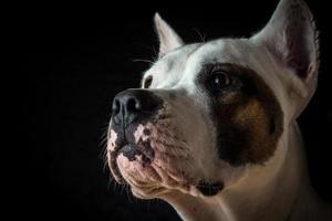 Argentinian dog on black background photo