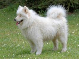 Perro samoyedo blanco típico ruso foto