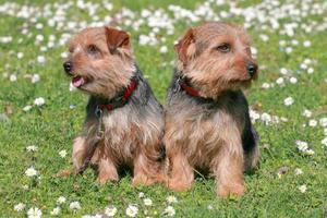 el retrato de un par de perros norfolk terrier